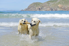 Zwei Hunde des goldenen Apportierhunds auf dem Strand stockbild