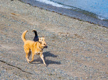 Zwei Hunde, die auf dem Strand nahe dem Wasser spielen, umranden Stockfotos
