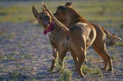 Zwei Hunde, die auf dem Strand spielen Lizenzfreie Stockfotografie