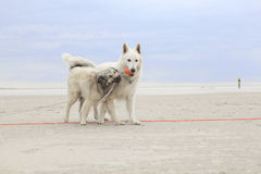Zwei Hunde, die auf dem Strand spielen Lizenzfreie Stockbilder