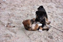 Zwei Hunde, die auf dem Strand spielen Lizenzfreies Stockfoto