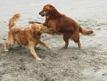 Zwei Hunde, die auf dem Strand spielen Lizenzfreies Stockbild