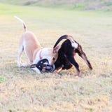 Zwei Hunde, die auf Gras spielen Lizenzfreie Stockfotografie