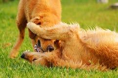 Zwei Hunde, die auf Gras spielen Lizenzfreies Stockbild