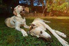 Zwei Hunde, die auf Grashintergrund legen Stockfotografie