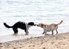 Zwei Hunde, die auf Strand spielen Stockfotografie