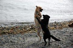 Zwei Hunde, die auf Strand spielen Lizenzfreie Stockfotografie