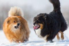 Zwei Hunde, die in den Schnee laufen Lizenzfreie Stockfotos