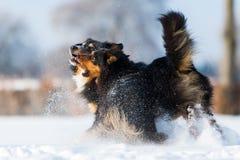 Zwei Hunde, die den Schnee spielen Stockfoto