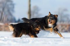 Zwei Hunde, die den Schnee spielen Stockfotografie