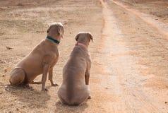 Zwei Hunde, die durch eine Fahrstraße auf jemand warten, um nach Hause zu kommen Lizenzfreie Stockbilder