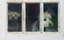 Zwei Hunde, die heraus alte Tür im Regen blicken Lizenzfreie Stockfotos