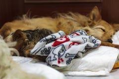 Zwei Hunde, die im gleichen Bett schlafen lizenzfreies stockfoto