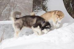 Zwei Hunde, die im Schnee schauen Lizenzfreies Stockfoto
