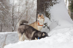 Zwei Hunde, die im Schnee schauen Schlittenhunde und Schlittenhund Stockbilder