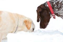Zwei Hunde, die im Schnee suchen Stockfoto