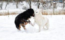Zwei Hunde, die im Schnee im Winter spielen Lizenzfreies Stockfoto