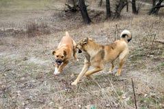 Zwei Hunde, die im Wald spielen Lizenzfreie Stockfotos