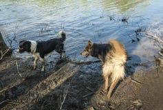 Zwei Hunde, die im Wasser spielen Stockfotografie