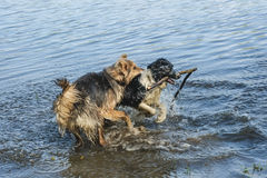 Zwei Hunde, die im Wasser spielen Stockbilder