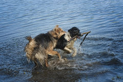 Zwei Hunde, die im Wasser spielen Stockfoto