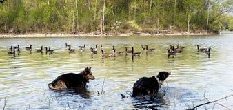 Zwei Hunde, die im Wasser spielen Stockfotos