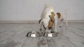 Zwei Hunde, die Lebensmittel von der Schüssel essen stock footage