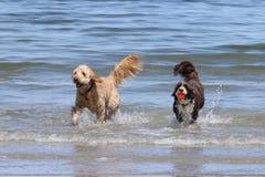 Zwei Hunde, die mit einem Ball am Strand spielen Stockfoto