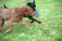 Zwei Hunde, die mit Frisbee laufen Stockfotos