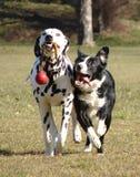Zwei Hunde, die mit Kugel spielen Stockfotografie