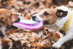 Zwei Hunde, die Schlepper spielen, kämpfen mit Scheibe auf braunen Blättern Lizenzfreies Stockfoto