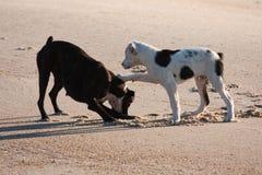 Zwei Hunde, die am Strand spielen Lizenzfreie Stockfotografie