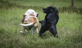 Zwei Hunde, die weg vermasseln Lizenzfreies Stockbild