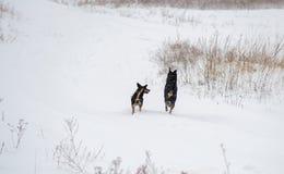 Zwei Hunde, die in Winter laufen Stockfotografie