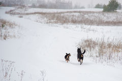 Zwei Hunde, die in Winterfeld laufen Stockbild
