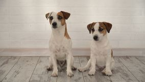 Zwei Hunde, die zu Hause sitzen stock video