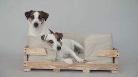 Zwei Hunde, die zu Hause sitzen stock footage