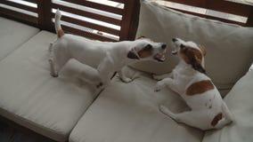 Zwei Hunde, die zu Hause spielen stock video