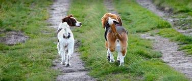Zwei Hunde, die zusammen gehen Stockfoto