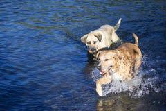 Zwei Hunde, die zusammen im Fluss spielen Lizenzfreies Stockbild