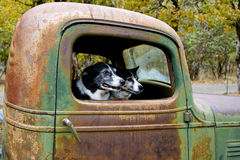 Zwei Hunde in einem alten LKW Stockbild