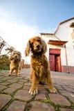 Zwei Hunde in einer Frontseite des Hauses Lizenzfreie Stockfotos