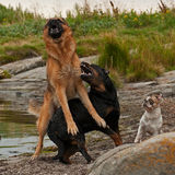 Zwei Hunde gestört durch drei 1 Lizenzfreies Stockfoto