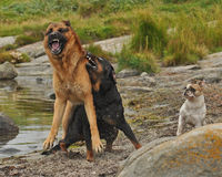 Zwei Hunde gestört durch drei 2 Lizenzfreie Stockfotos