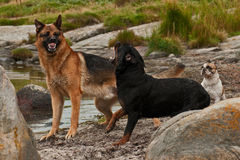 Zwei Hunde gestört durch drei 3 Lizenzfreies Stockfoto