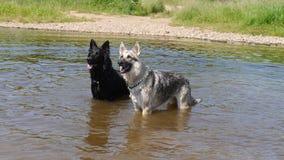 Zwei Hunde gestanden in einem Fluss in England Lizenzfreie Stockfotos