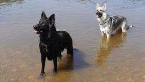 Zwei Hunde gestanden in einem Fluss in England Stockbilder
