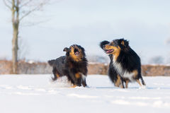 Zwei Hunde im Schnee Stockfotografie