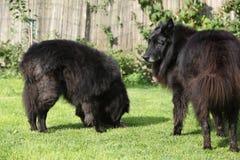 Zwei Hunde interessiert an frischen Fischen Stockfoto