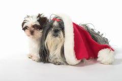 Zwei Hunde mit einem Sankt-Hut Stockfotografie